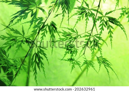 decorative japanese maple leaves, back lighted