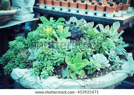 Decorative Miniature succulent plants  - vintage effect style. - stock photo