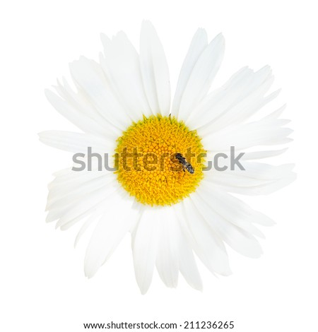 decorative Ox-eye daisy flower with fly close up isolated on white background