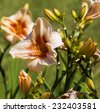 Decorative  pale  yellow  and cream  day lilies genus Hemerocallis blooming in late spring     are  a delightful addition to the garden landscape. - stock photo