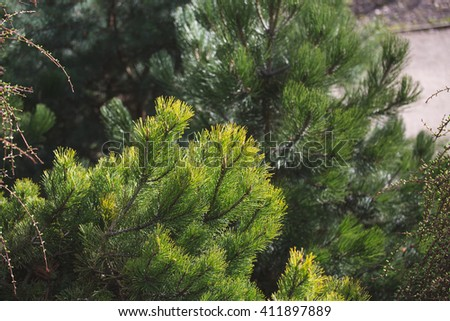Decorative pine branch
