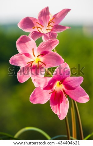 decorative pink flower rain lily (Zephyranthes grandiflora) on blurred background closeup