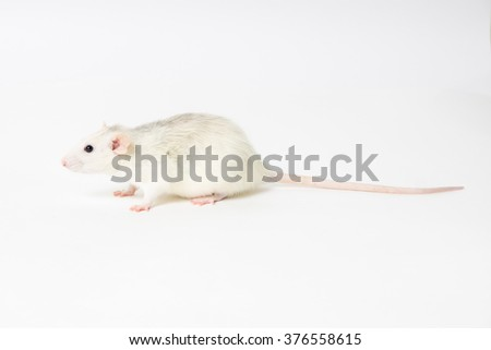 decorative rat on light background