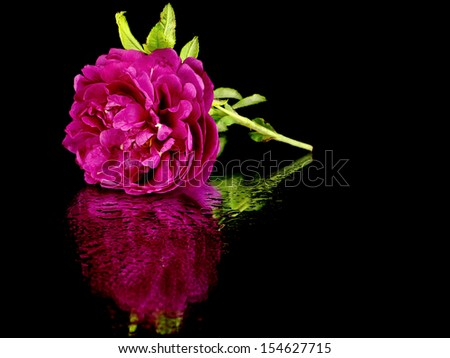 Decorative rose flower on a black background with water drop