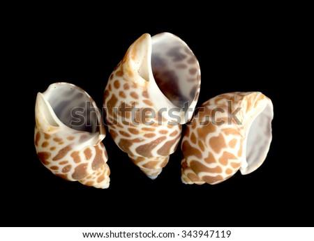 decorative sea shell on a black background - stock photo