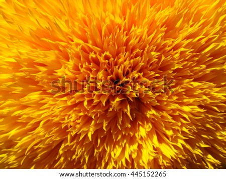 Decorative sunflower. Orange petals explosion.