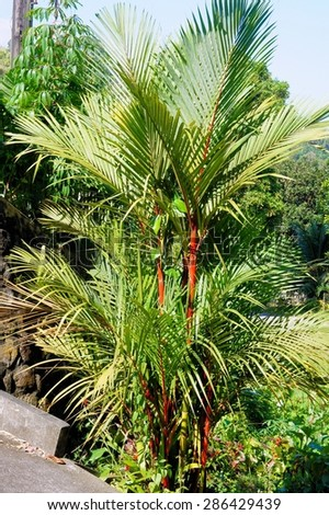 Decorative tropical trees for landscaping. Philippines. - stock photo
