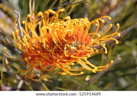 Decorative West Australian native wild flower grevillea species  cultivar in early spring bloom attracts birds and bees to the home garden or bush lands with ornamental spikes of color.