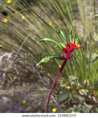 Decorative West Australian wildflower Red Kangaroo Paw anigozanthus manglesii blooming in full splendour in the Crooked Brook National Park Western Australia in early spring. - stock photo