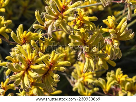 Decorative West Australian wildflower  yellow Kangaroo Paw anigozanthus  Bush Gem hybrid blooming in full splendour in spring and summer is a delightful addition to parks and gardens. - stock photo