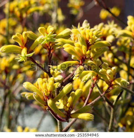 Decorative West Australian wildflower  yellow Kangaroo Paw anigozanthus  Bush Gem hybrid blooming in full splendor in spring and summer is a delightful addition to parks and gardens. - stock photo