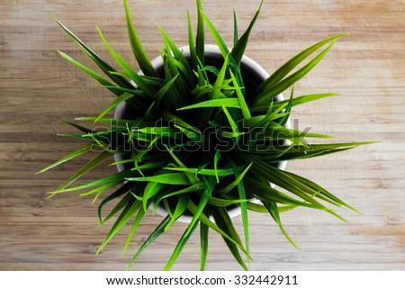 Decorative wheatgrass plant in white flower pot, top view - stock photo