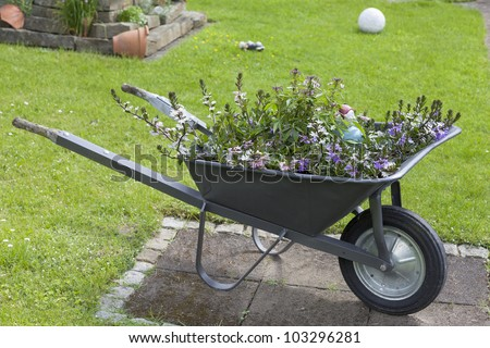 decorative wheelbarrow planted with various flowers in a cottage garden. - stock photo