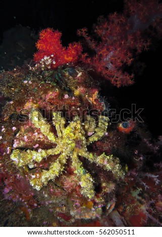 Decorator crab (Camposcia retusa) uses sponges, tunicate and algae to camouflage itself on coral reef in Thailand. This species is one of the most artistic crustaceans