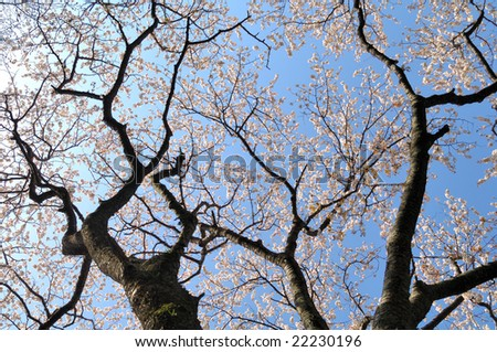 Decoys in full blossom whom I looked up at - stock photo