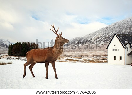 Dee Stag visiting hotel on a snow covered Glencoe landscape in the Scottish highlands - stock photo