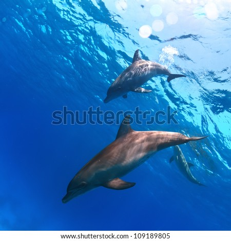 deep blue and water surface with two funny nice dolphins underwater