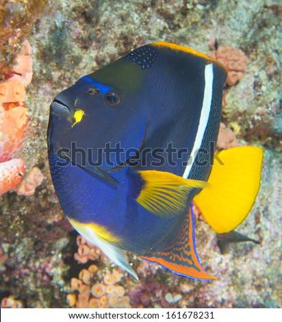 Deep blue angel fish - stock photo