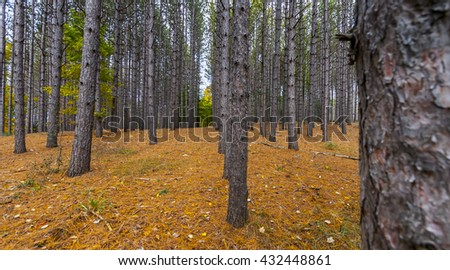 deep forest view of lodgepole pine - stock photo