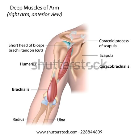 Deep muscle of the arm, labeled. - stock photo