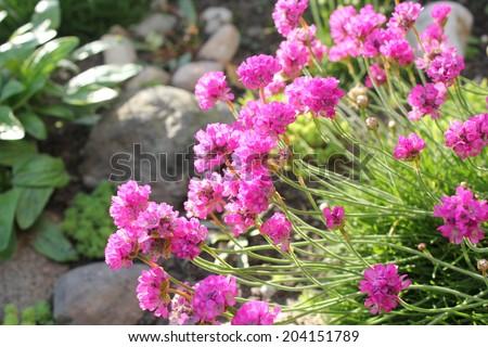 Deep Pink Thrift flowers in the rockery garden - stock photo