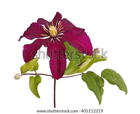 Deep purple flower and developing buds of clematis cultivar Niobe isolated against a white background - stock photo
