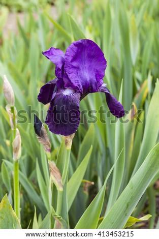 Deep purple iris flowering plant in a garden. - stock photo