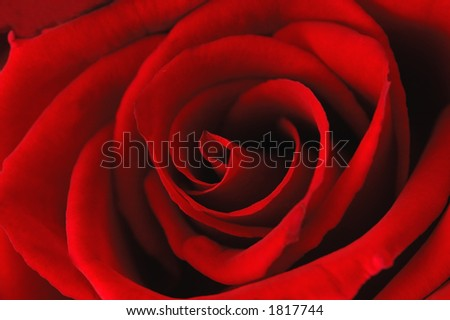 Deep red rose -background, macro - stock photo