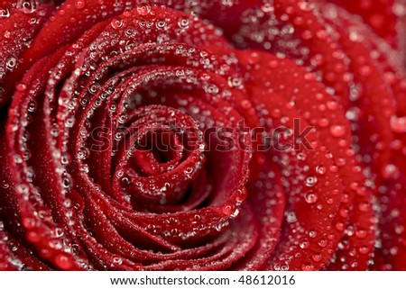deep red rose frower background with water drops, shallow DOF - stock photo