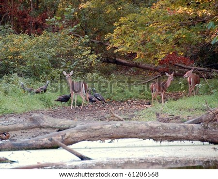 deer and turkey cohabit by the lake - stock photo