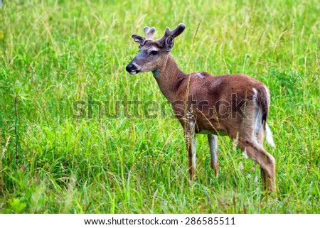 Deer at Cades Cove Great Smoky Mountains National Park  - stock photo