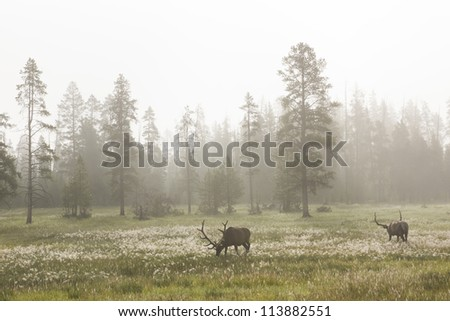 Deer at dawn grazing in a meadow in the mist. Yellowstone National Park, USA - stock photo