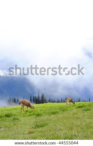 Deer at Olympic National Park, WA USA - stock photo