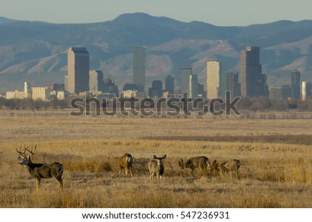 Deer at Rocky Mountain Arsenal National Wildlife Refuge in suburban Denver, Colorado, with city skyline in background.