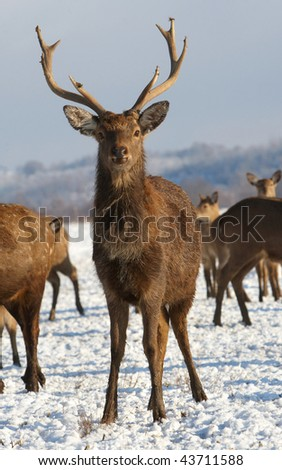 Deer (Cervus nippon - stock photo