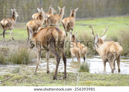 Deer crossing a river, Salburua park, Vitoria (Spain) - stock photo