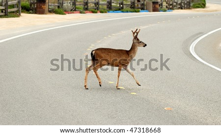 Deer crossing the road - stock photo