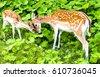 deer doe and deer fawn in nature