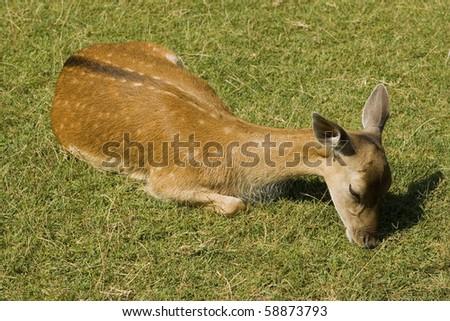 Deer eating grass. - stock photo