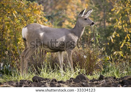 Deer eating the last of the carrots in the autumn colors - stock photo