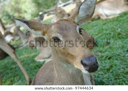 Deer Face Close Up - stock photo