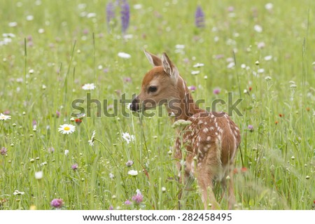 Deer Fawn Smelling Wildlfowers - stock photo