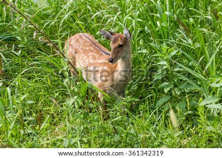 Deer fawn standing in tall grass - stock photo