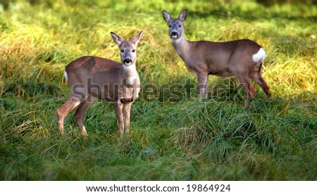 deer, fawns - stock photo