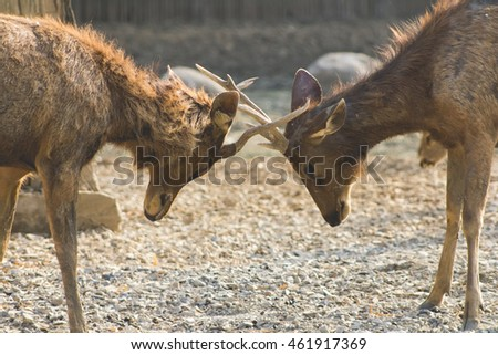 Deer fights in the zoo in Thailand.