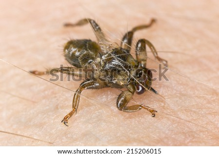Deer fly, Lipoptena cervi crawling on human skin, extreme close-up - stock photo