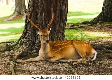 Deer from Nara. - stock photo