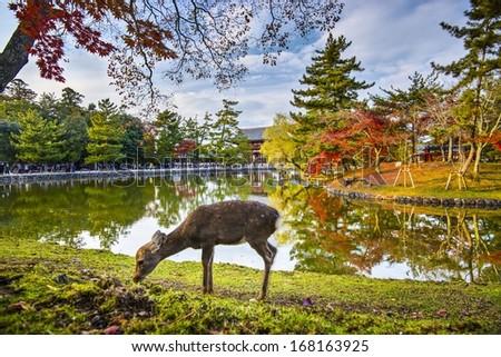 Deer grazes near Todai-ji Temple in Nara, Japan. - stock photo