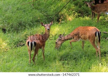 deer grazing - stock photo