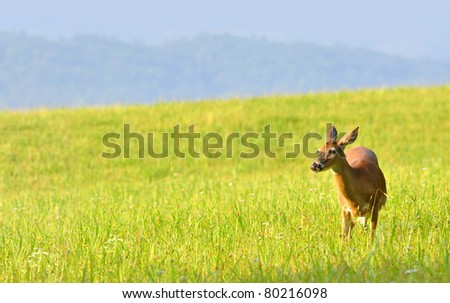 deer grazing on lush grass at Cades Cove valley in Great Smoky Mountains National Park - stock photo